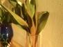 Barvení tulipánů